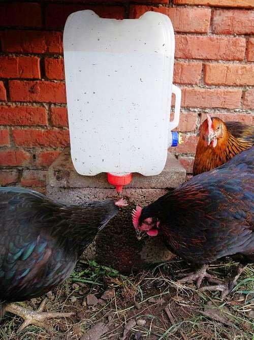 Hühner kaufen Hühnerhaltung Nippeltränke für Hühner bauen